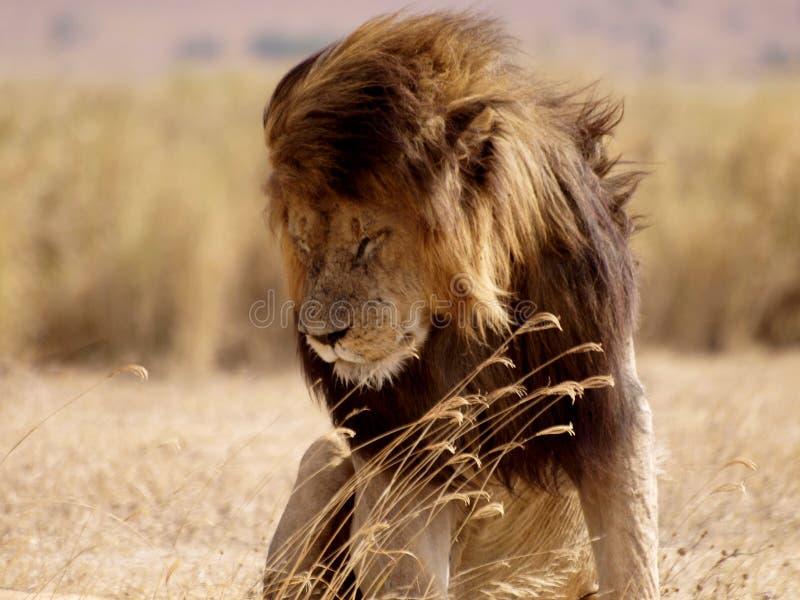 Leeuw op wittebroodsweken royalty-vrije stock afbeeldingen