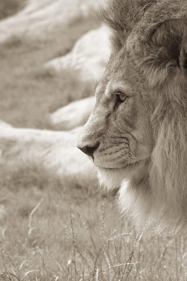 Leeuw in Profiel stock foto