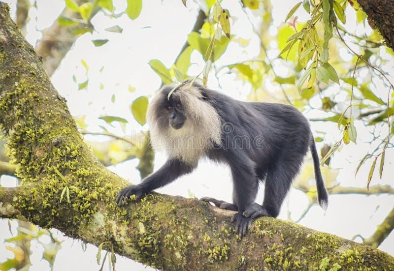 Leeuw van het de steel verwijderde macaque stellen royalty-vrije stock afbeelding