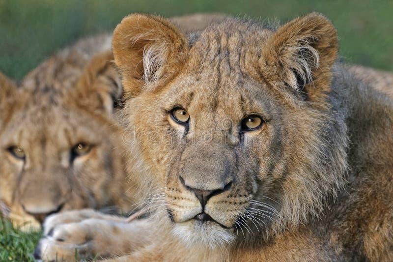 Leeuw (lion) 001329 Free Public Domain Cc0 Image