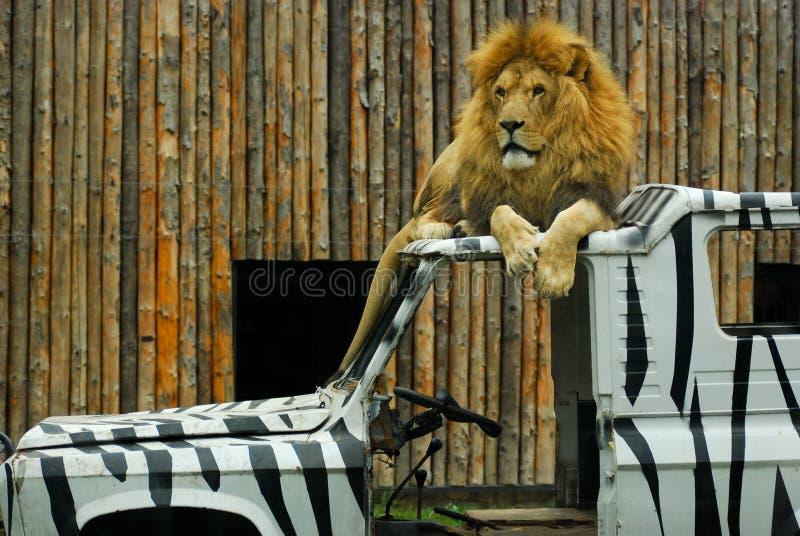 Leeuwdierentuin bovenop de zebra van de autoverf royalty-vrije stock foto's