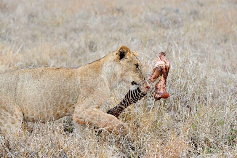 Leeuwen die een Zebra eten stock foto's