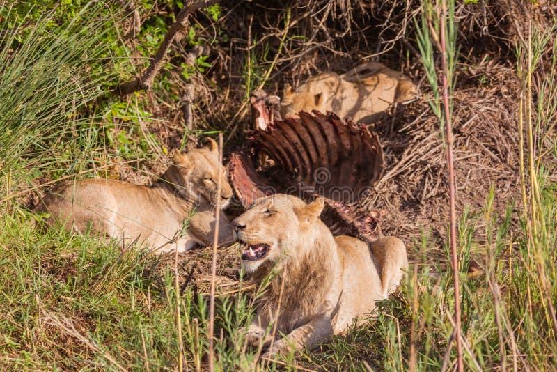 Leeuwen die lunch hebben royalty-vrije stock afbeelding