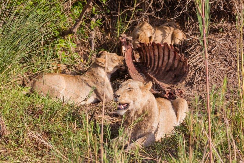 Leeuwen die lunch hebben stock afbeelding