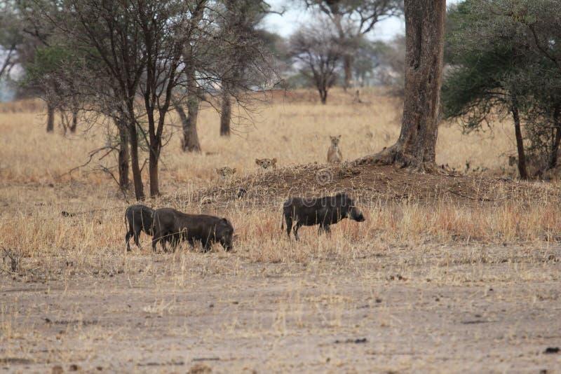 Leeuwen die wrattenzwijnen in de savanne jagen royalty-vrije stock foto