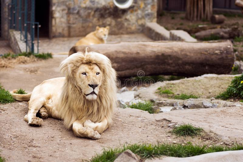Leeuwen in dierentuin stock foto