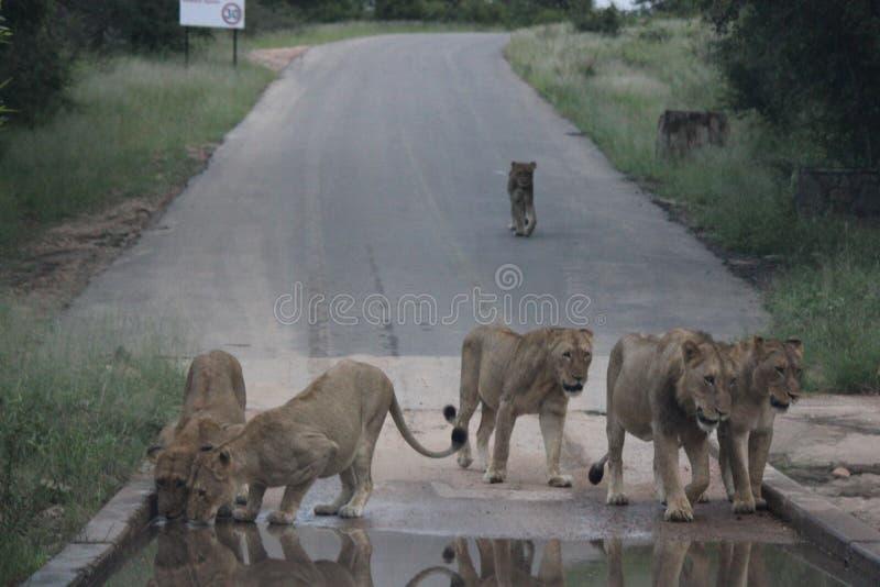 Leeuwen drinkwater in Kruger royalty-vrije stock fotografie