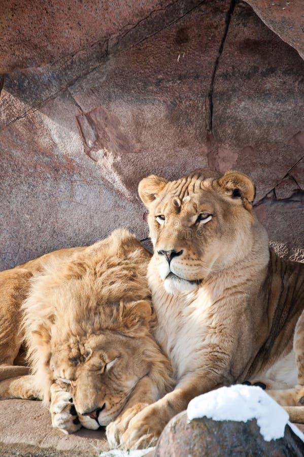 Leeuwen in een Dierentuin stock afbeeldingen