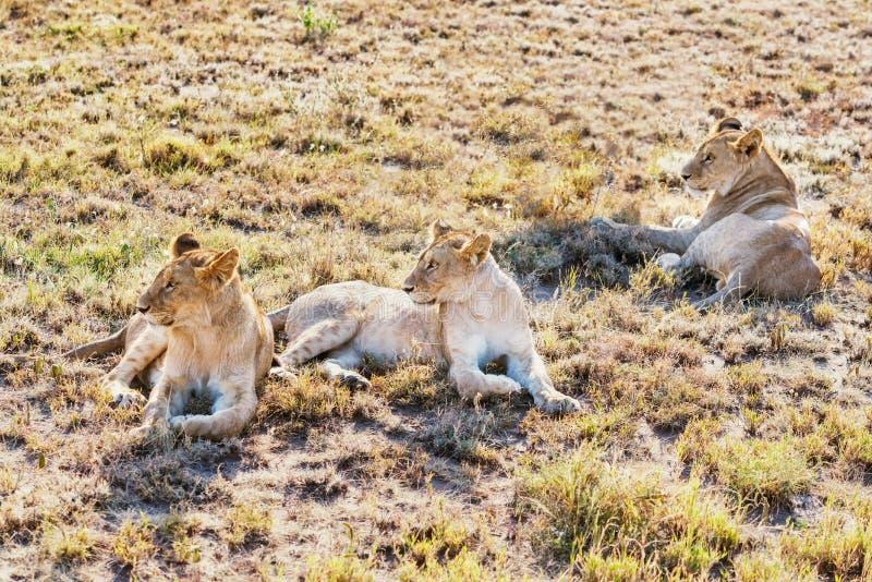 Leeuwen in het Nationale Park van Serengeti, Tanzania royalty-vrije stock afbeelding