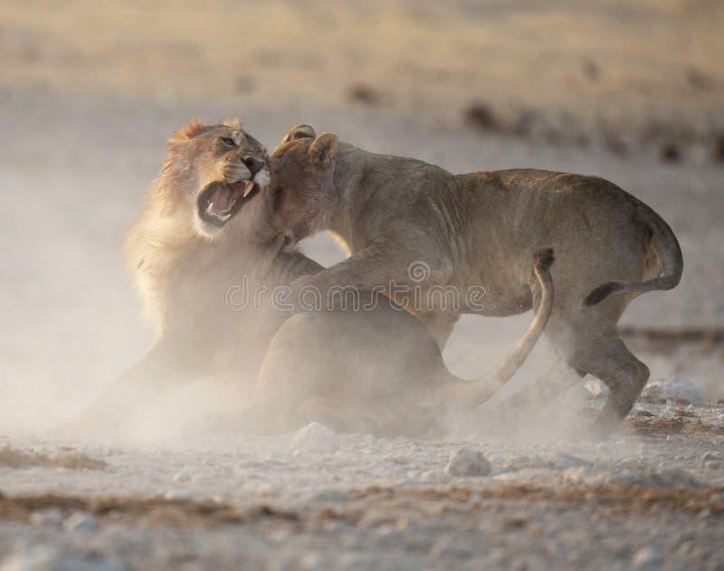 Leeuwen het vechten stock fotografie
