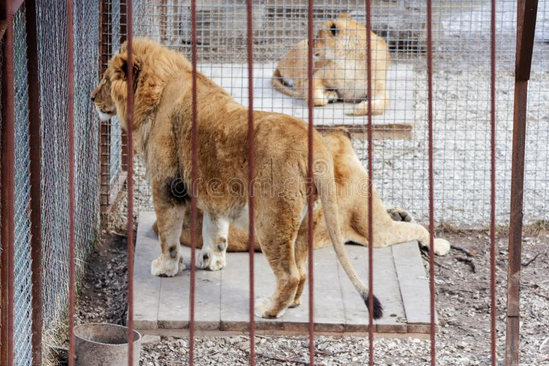 Leeuwen in kooien stock fotografie