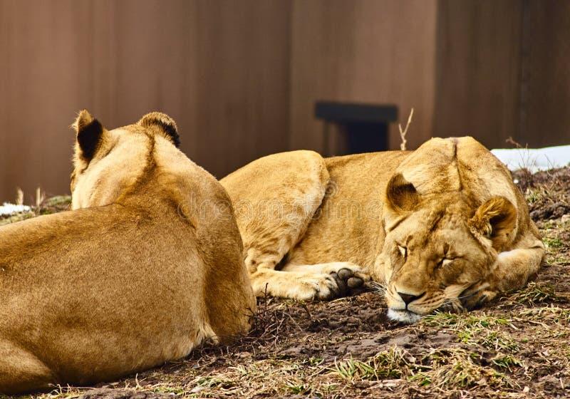 Leeuwen onbeweeglijk royalty-vrije stock afbeelding
