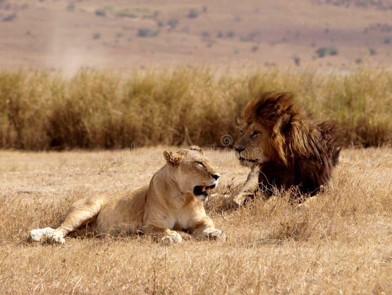 Leeuwen op wittebroodsweken stock afbeeldingen