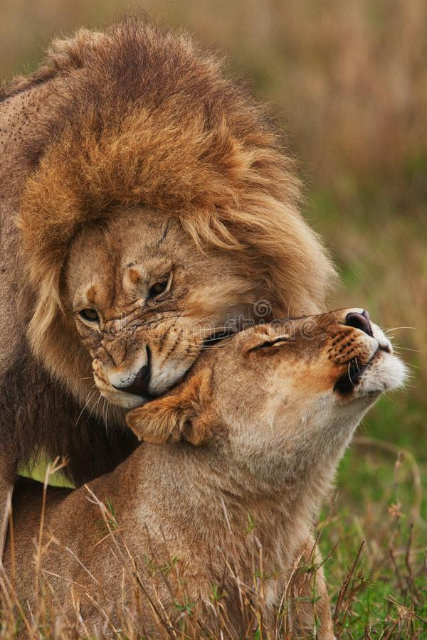 Leeuwenfamilie in savanne in Tanzania stock afbeelding