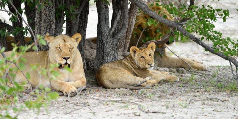 Leeuwentrots, Namibië stock afbeelding