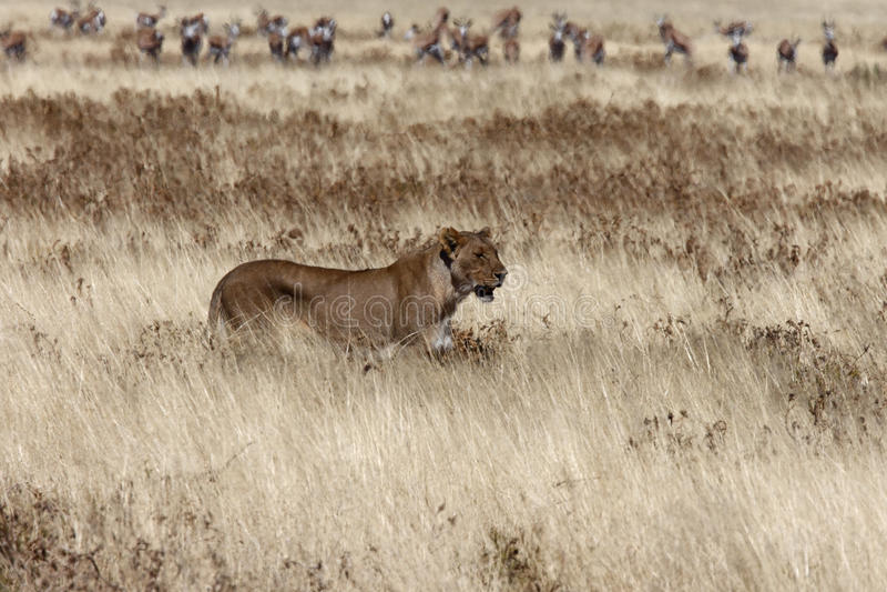 Download Leeuwin stock foto. Afbeelding bestaande uit wildlife - 10775008