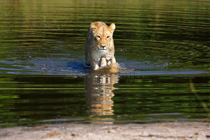 Leeuwin stock afbeeldingen