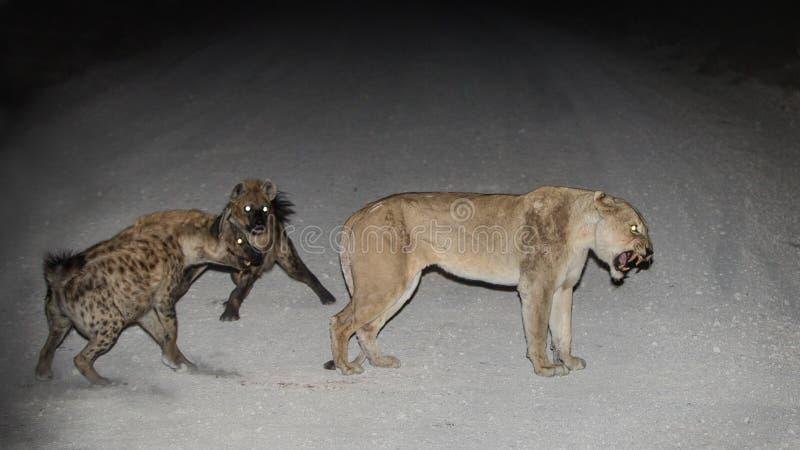 Leeuwin & de Hyena's royalty-vrije stock foto's
