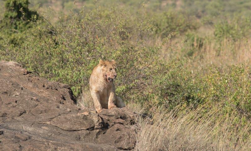 Leeuwin in de Wildernis van Masai mara, Kenia stock foto's
