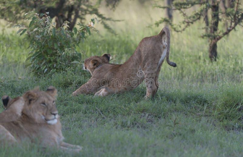 Leeuwin die een grote rek na het slapen in de zon hebben stock fotografie