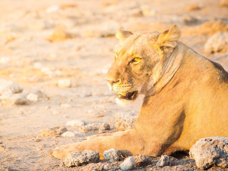 Leeuwin die een rust op stoffige grond, het Nationale Park van Etosha, Namibië hebben stock foto