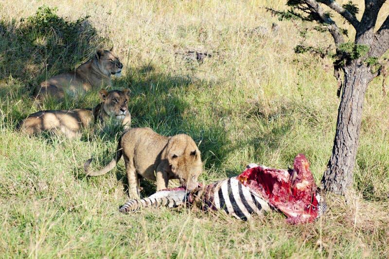 Leeuwin die een zebra voeden - twee leeuwen zijn het waakzame kijken royalty-vrije stock foto