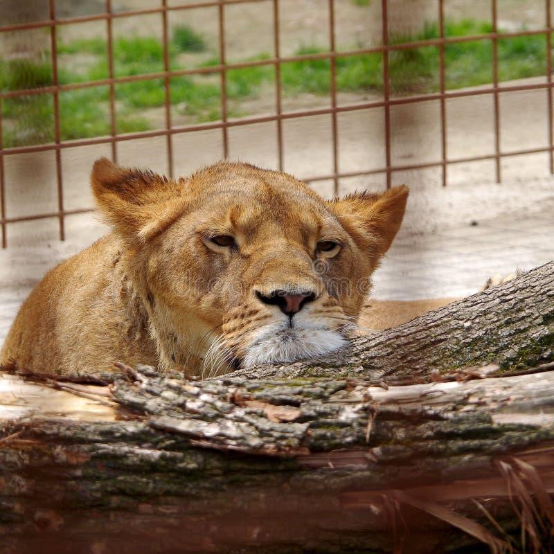 Leeuwin die in gevangenschap rusten royalty-vrije stock fotografie