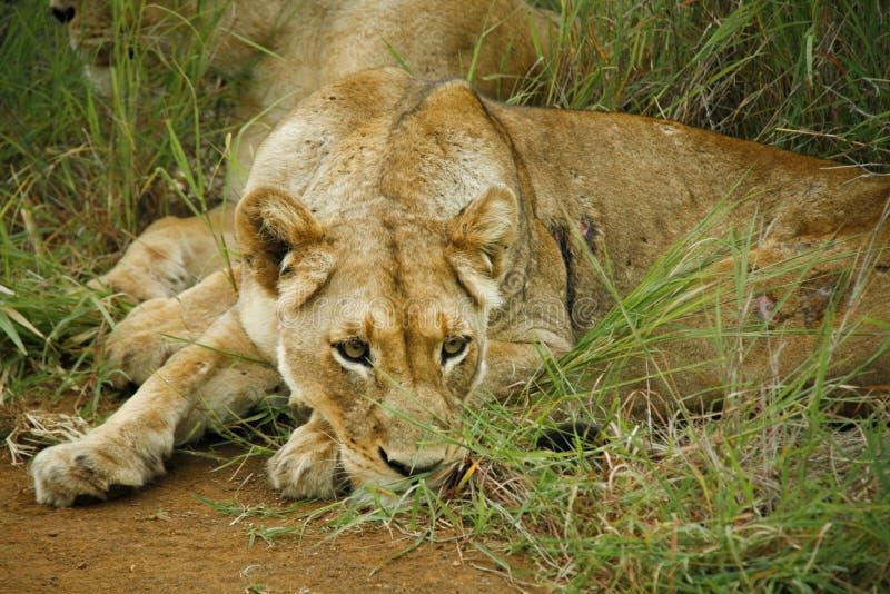 Leeuwin die in gras rusten stock fotografie