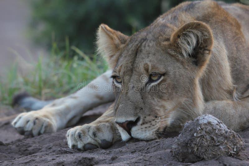 Leeuwin die haar hoofd rusten royalty-vrije stock foto