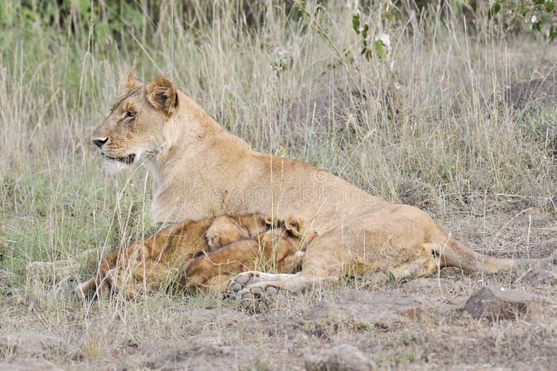 Leeuwin die haar welpen verzorgt stock afbeeldingen
