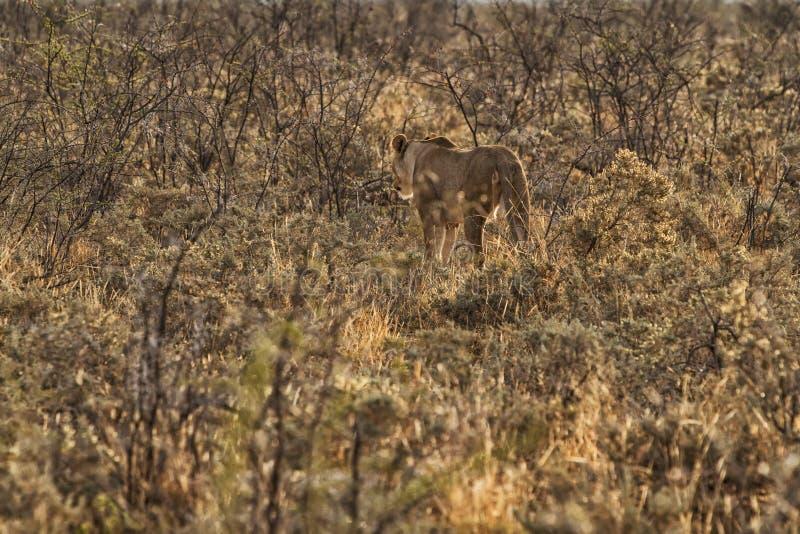 Leeuwin die onder struiken van de Afrikaanse die savanne lopen erachter wordt gezien van NAMBIA royalty-vrije stock fotografie