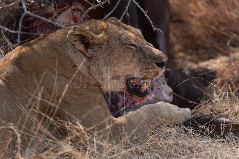 Leeuwin die op het karkas van een buffel in nationale Ruaha eten royalty-vrije stock foto's