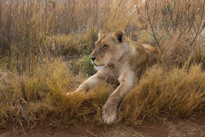 Leeuwin die rust hebben royalty-vrije stock afbeelding