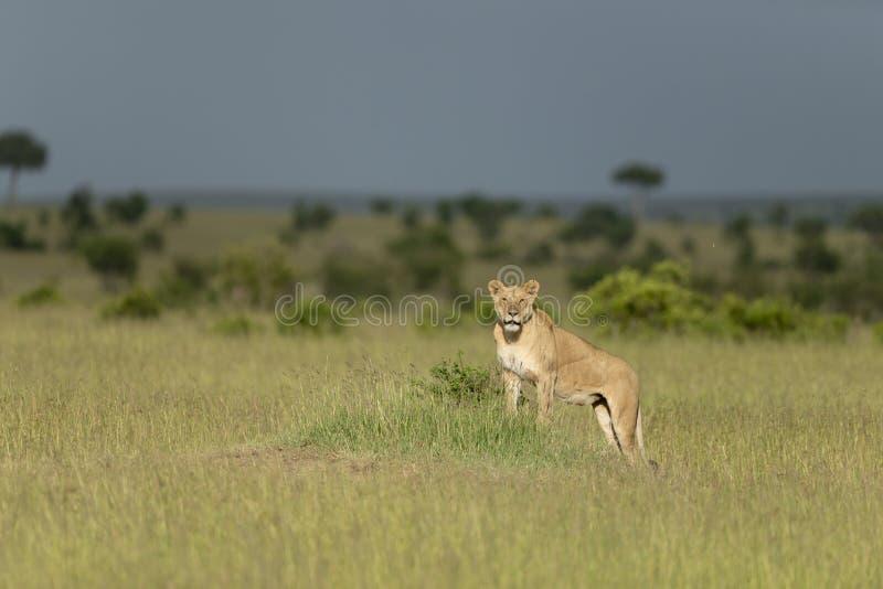 Leeuwin in een gouden Licht in Masai Mara Game Reserve, Kenia stock foto