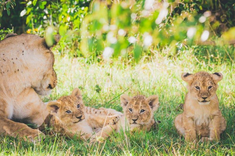 Leeuwin en drie pasgeboren welpen die in het gras en het ontspannen leggen royalty-vrije stock fotografie