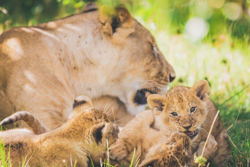 Leeuwin en welpen in Masai mara in Afrika royalty-vrije stock afbeelding