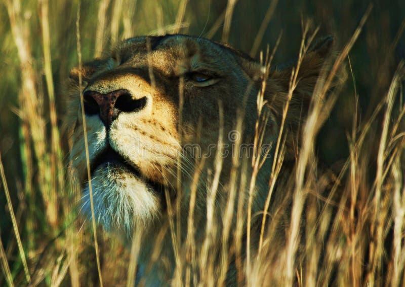 Leeuwin in het gras stock afbeelding