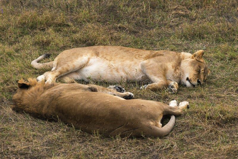 Leeuwin het rusten stock fotografie