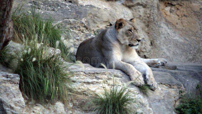 Leeuwin het rusten royalty-vrije stock afbeelding