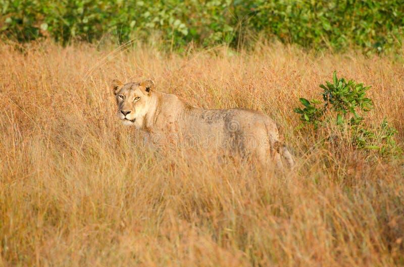 Leeuwin in Lang Gras, het Nationale Park van Kruger royalty-vrije stock afbeelding