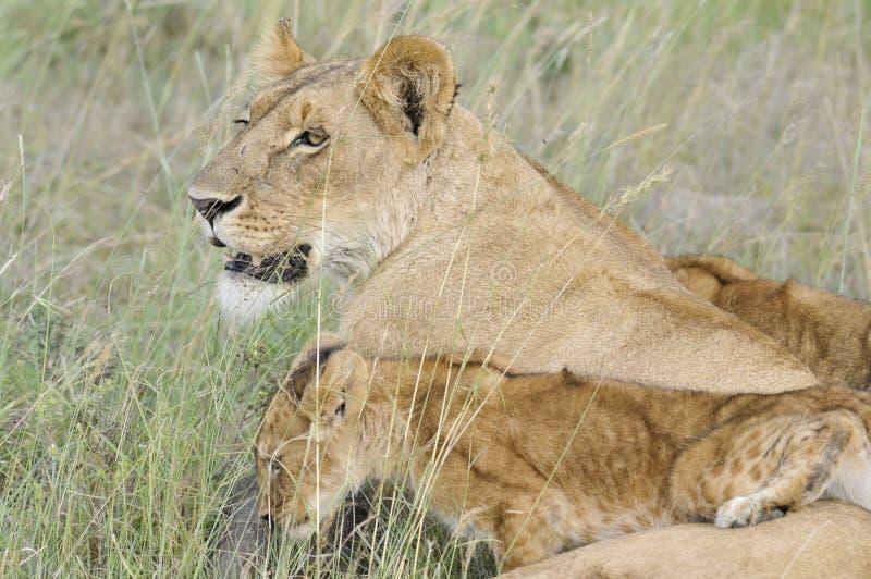 Leeuwin met welpen stock foto