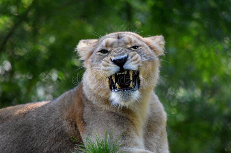 Leeuwin mooi portret van Paignton-Dierentuin stock fotografie
