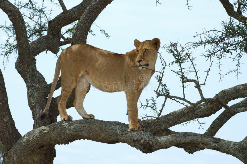 Leeuwin op een boom stock afbeeldingen
