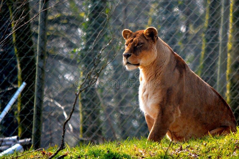 Leeuwin op het gras wordt gezeten dat stock fotografie