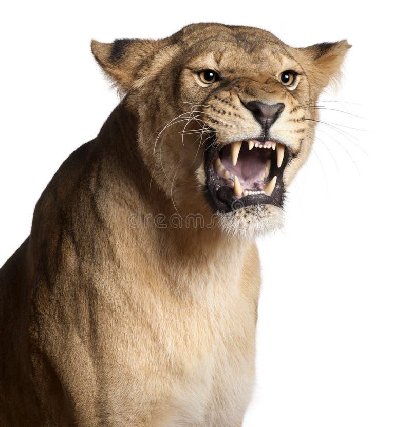 Leeuwin, Panthera leo, 3 jaar oud, het snauwen royalty-vrije stock afbeelding