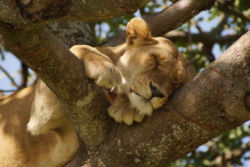 Leeuwin in slaap op een boomtak stock afbeeldingen