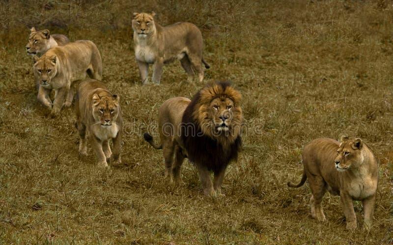 Leeuwin vijf en een leeuw. royalty-vrije stock fotografie