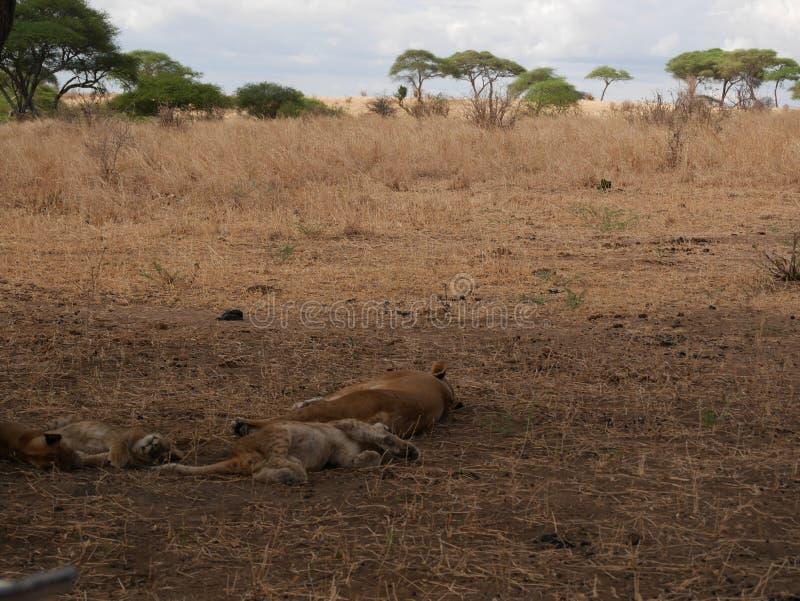 Leeuwinclose-up, leeuwin met leeuwen van Ngorongoro-safari - Tarangiri in Afrika royalty-vrije stock fotografie