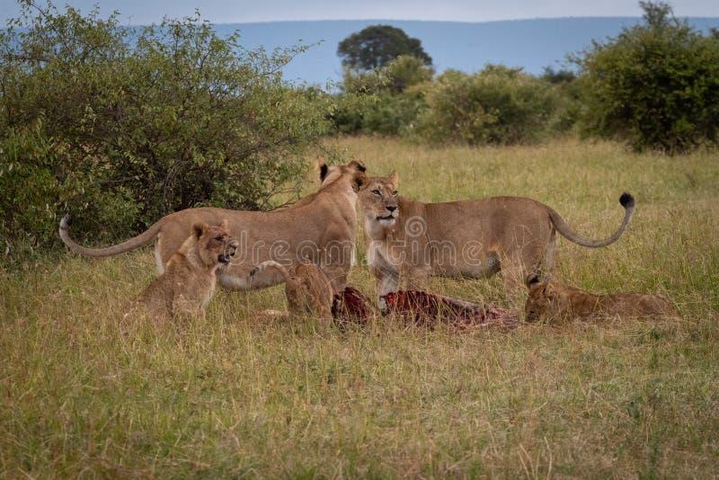 Leeuwinnen en welpentribune over meest wildebeest karkas stock fotografie