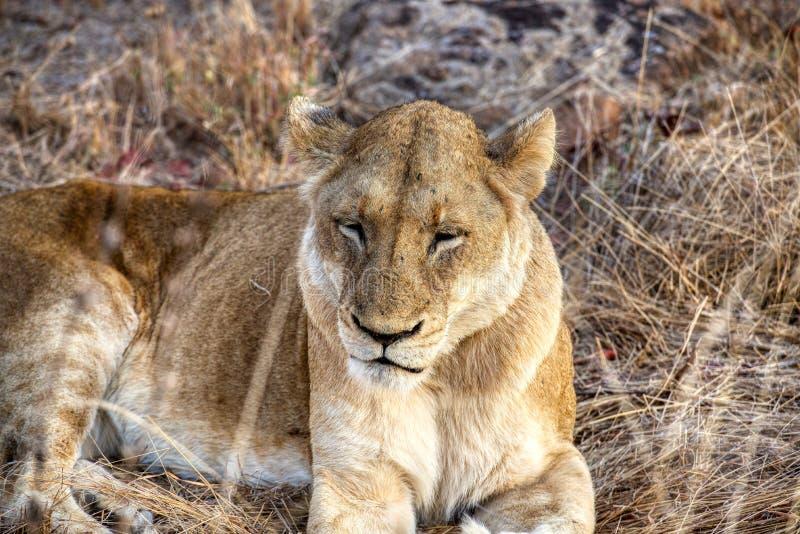 Leeuwinrust op een bewolkte dag in Kruger stock fotografie